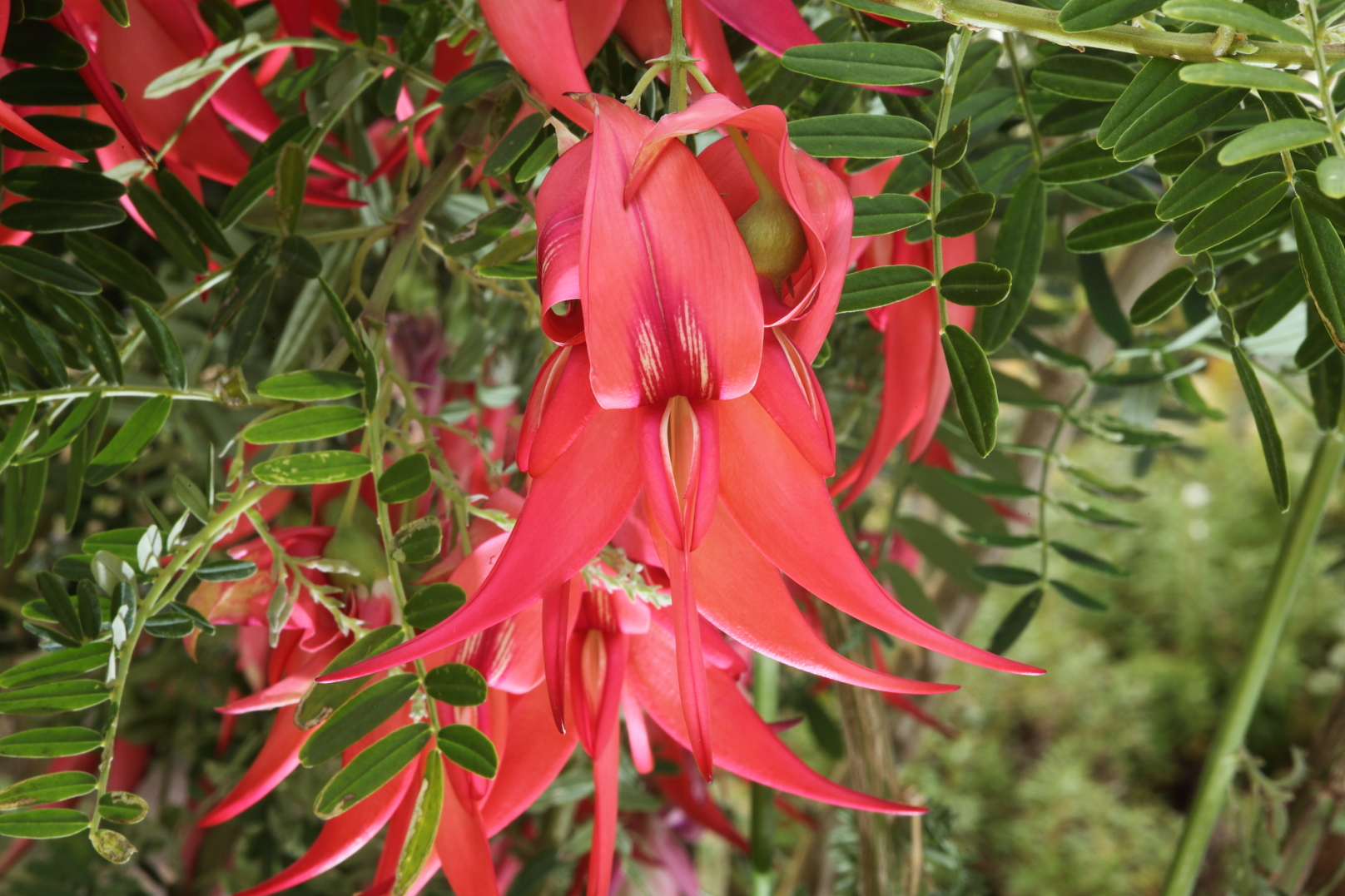 Kaka beak ( Clianthus puniceus ) has numerous threats but competition from exotic plant species is one of its greatest challenges.