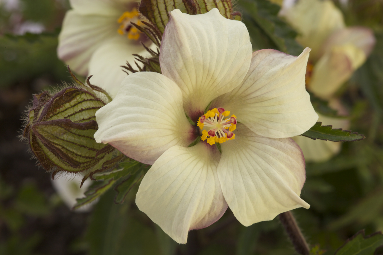 Philip Kippenberger, the ex-Horticulture teacher from Whangarei Boys High School, completed a  Royal Society Teacher Fellowship  in  Save a Species  working on  Puarangi  or  Hibiscus richardsonii  .