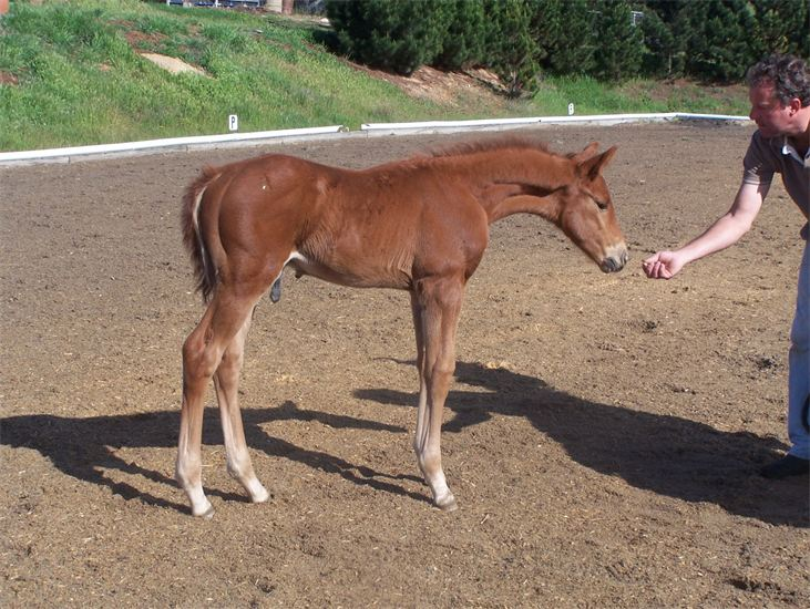 Vedette's filly foal by Debussy (Dimaggio/Der Loewe xx, Callum Park Daisy.