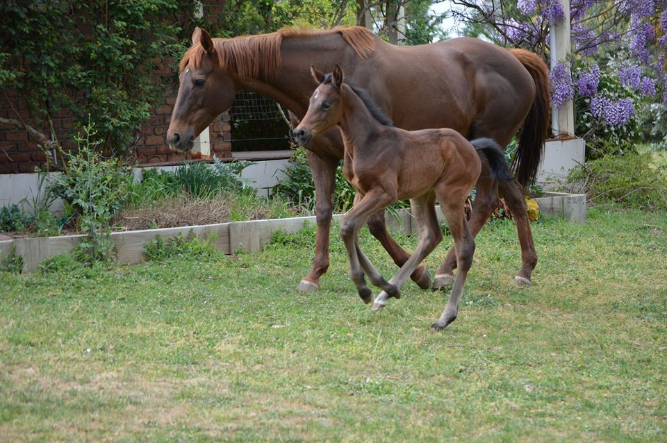 Show Promise with foal at foot