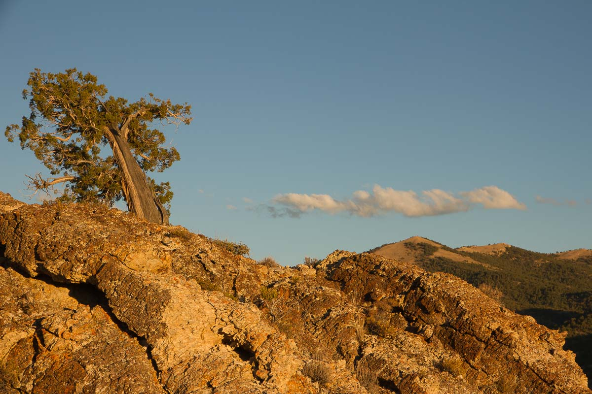 Lone tree at sunset in central Nevada - photo by Tanya Pluth.
