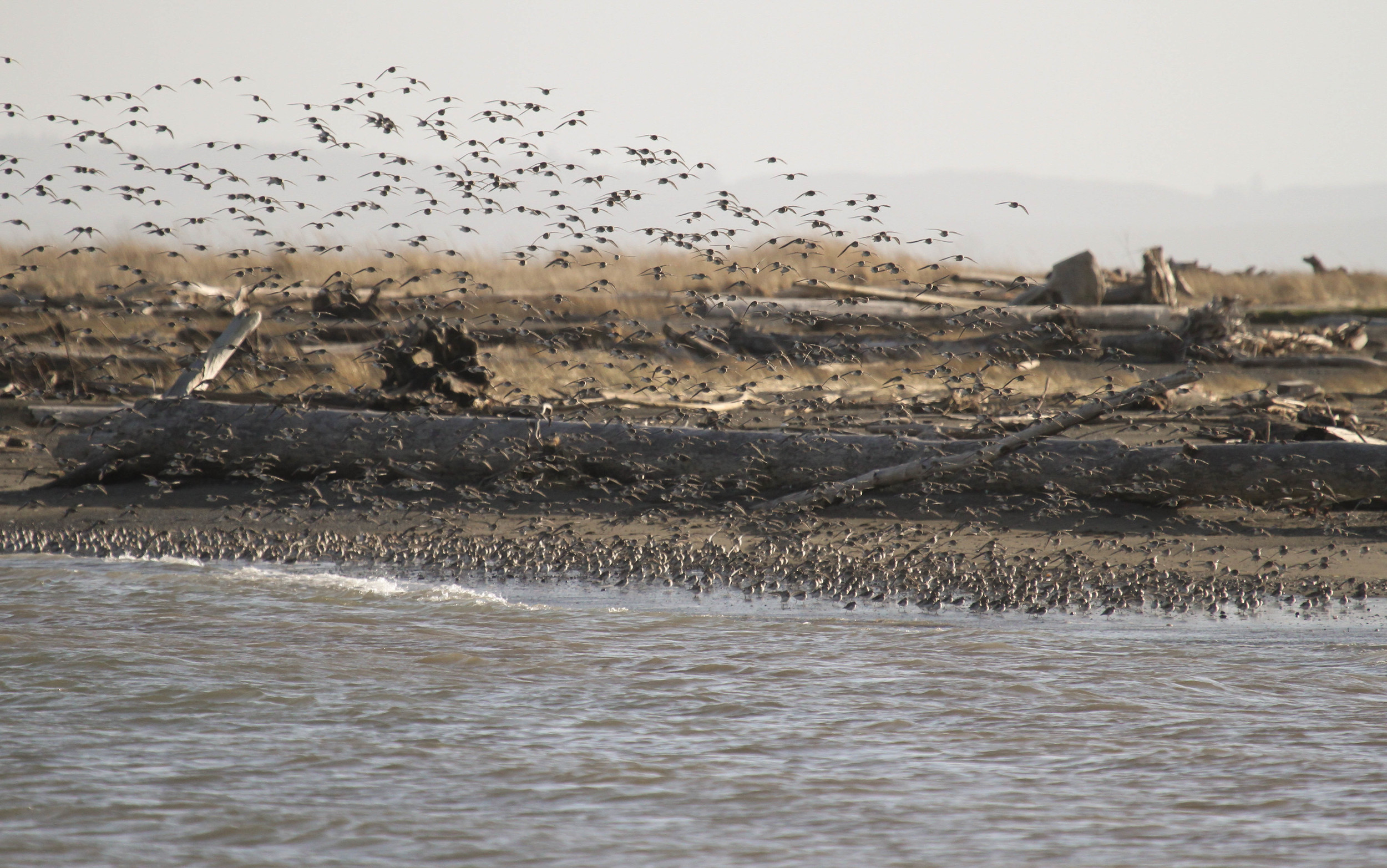 ocean shores birds.jpg