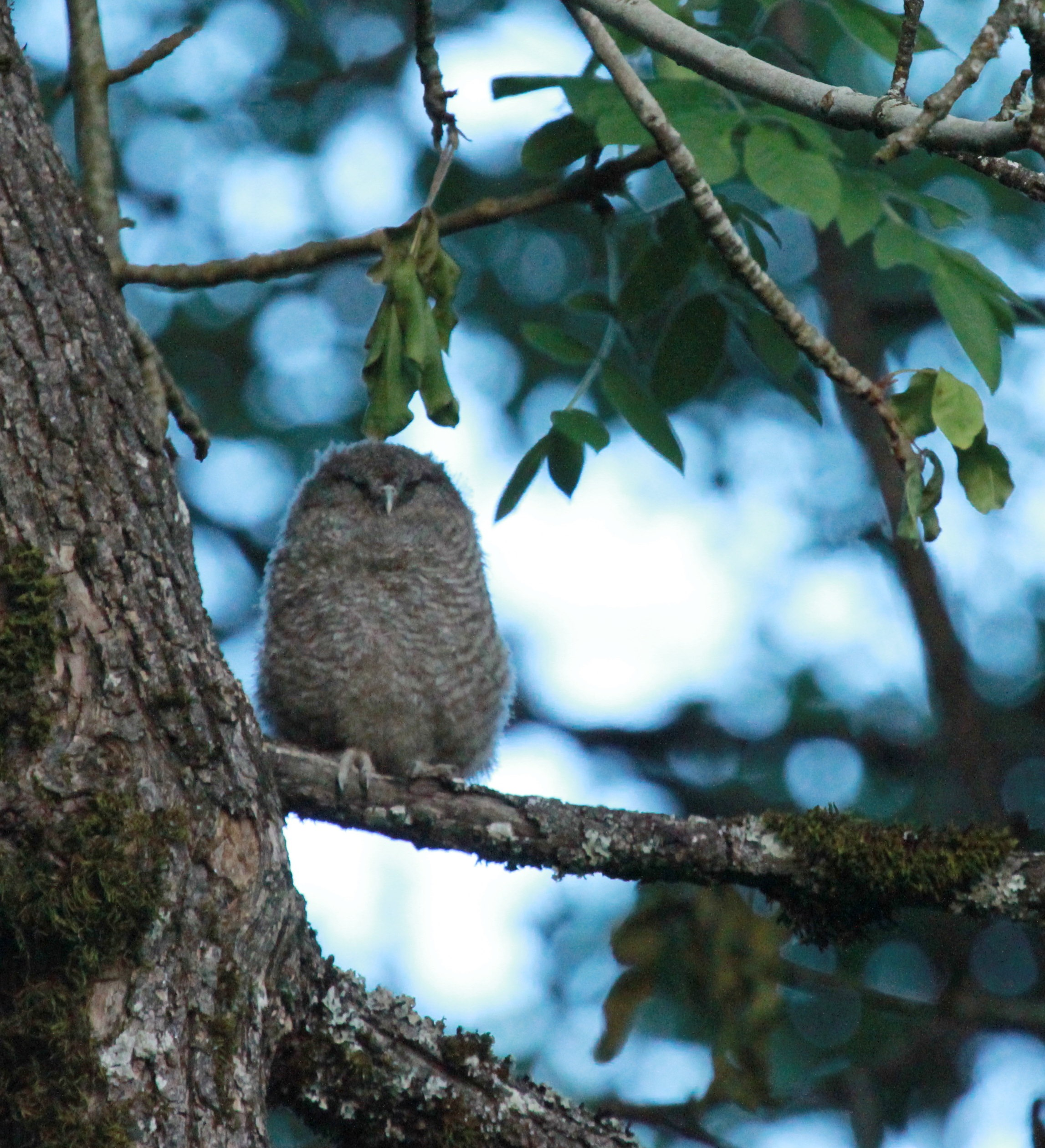 greenway owlet - 27.jpg