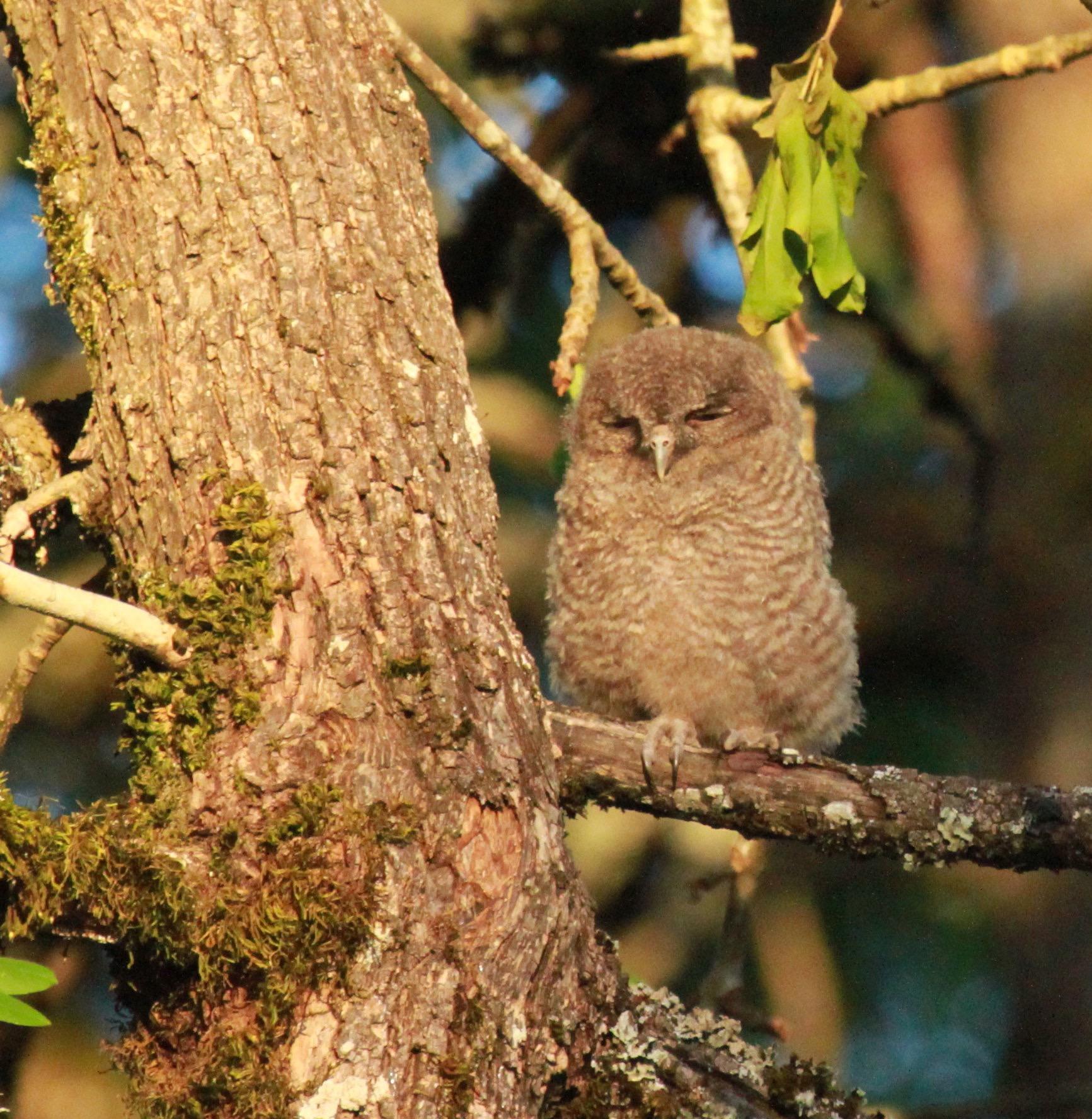 greenway owlet - 50.jpg