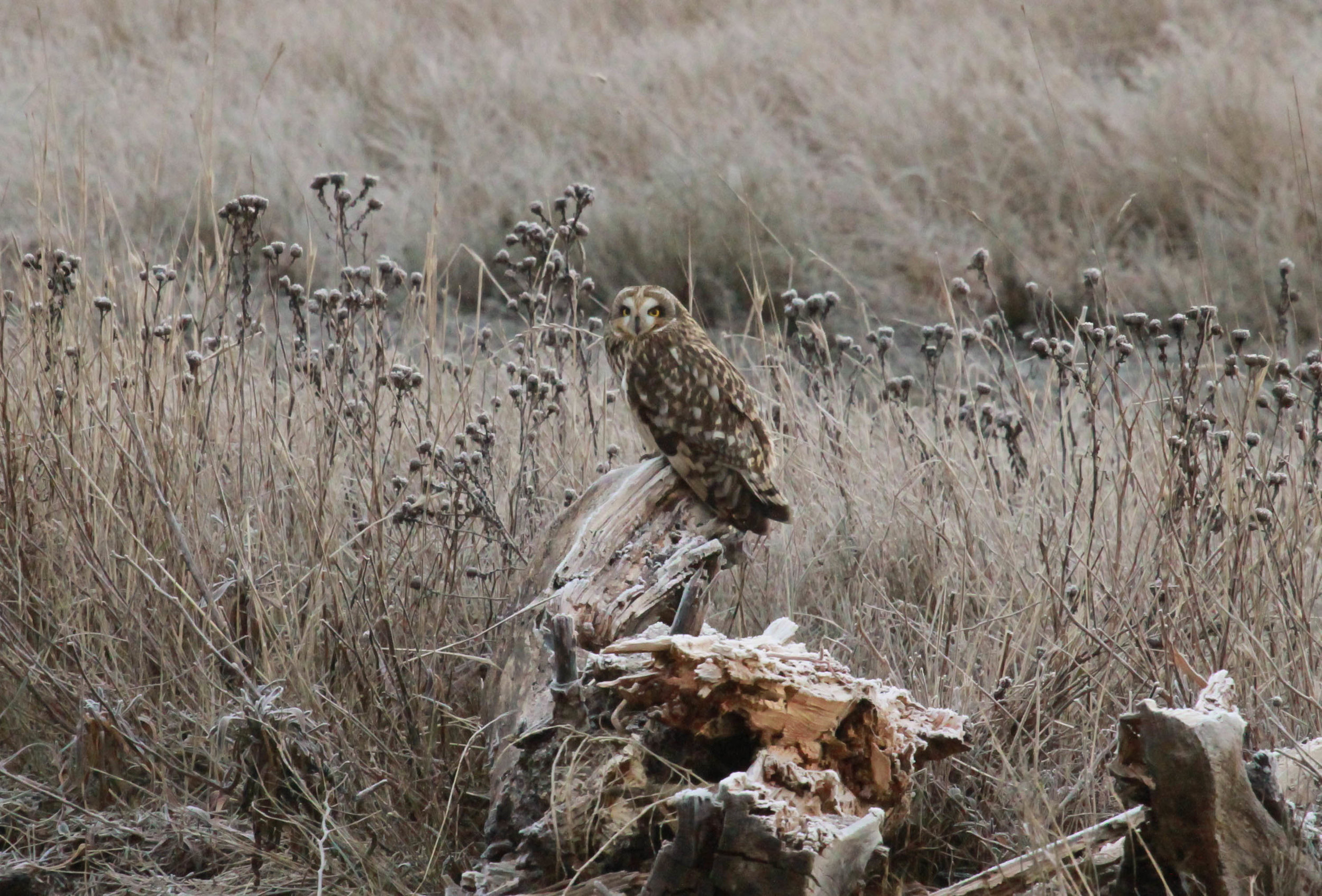 nov short eared owl.jpg