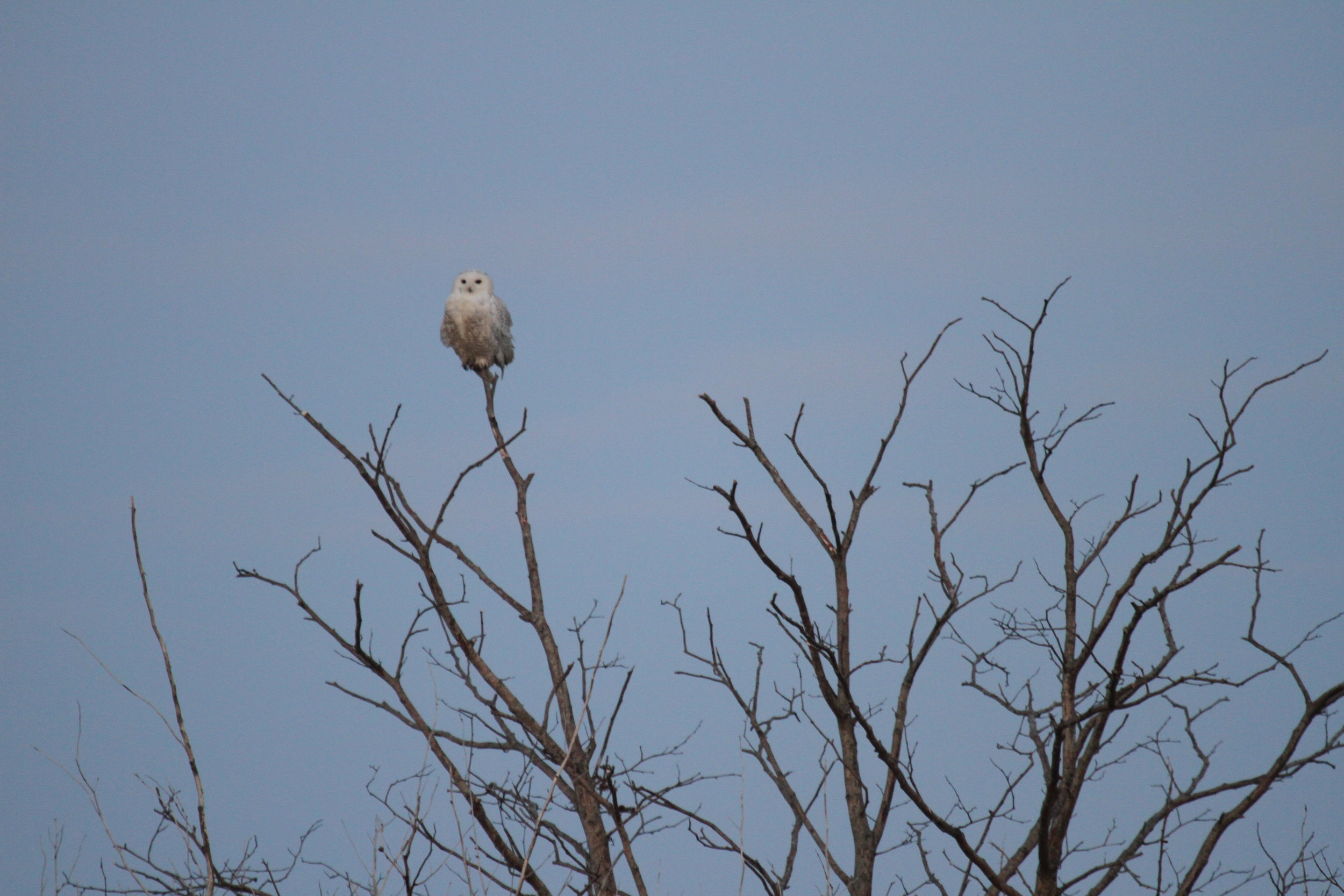 The first Snowy Owl I saw, as it faced East, greeting the morning and the sunrise. Tanya Pluth photo.