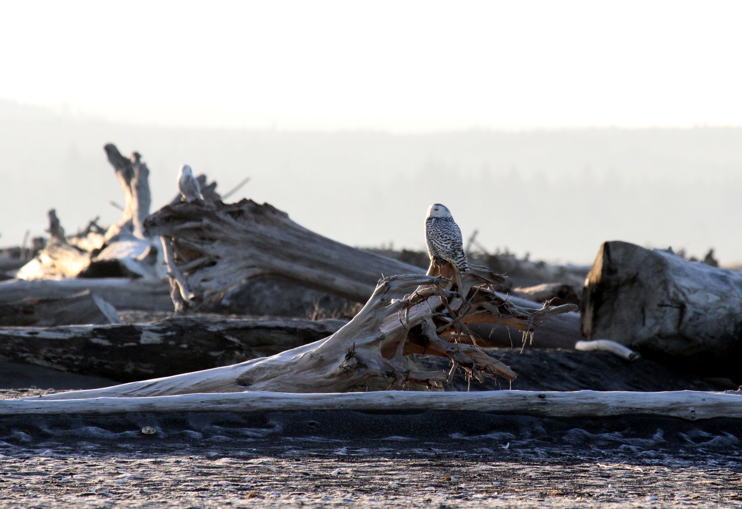Two snow owls, last ones I saw as I made my way back along the shore. While I didn't have every owl in view at the same time, there seemed to be at least 10 snowy owls gathered that morning. Tanya Pluth photo.