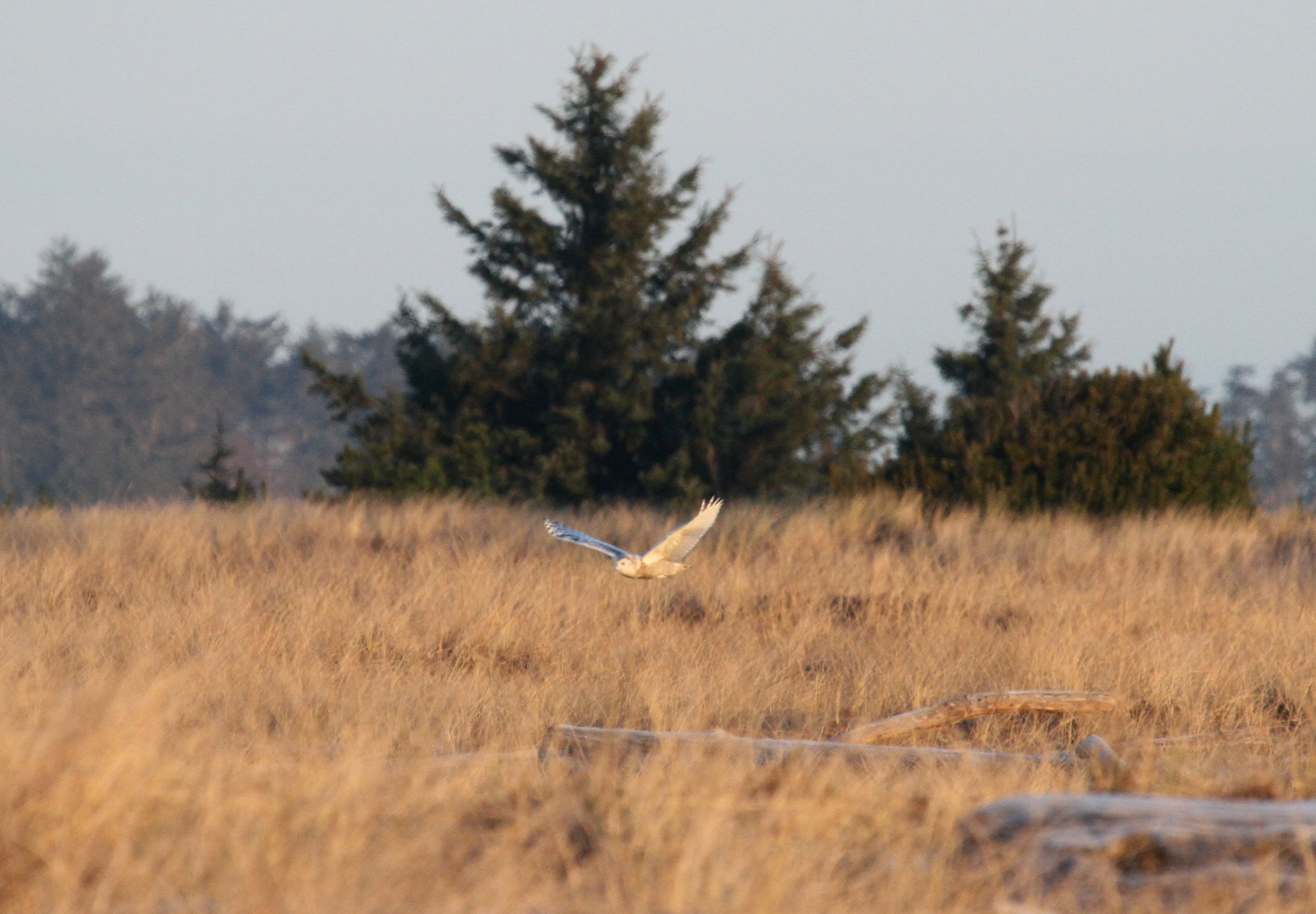 Snowy owl flying into the grassy bowl area at Damon Point. Tanya Pluth photo.