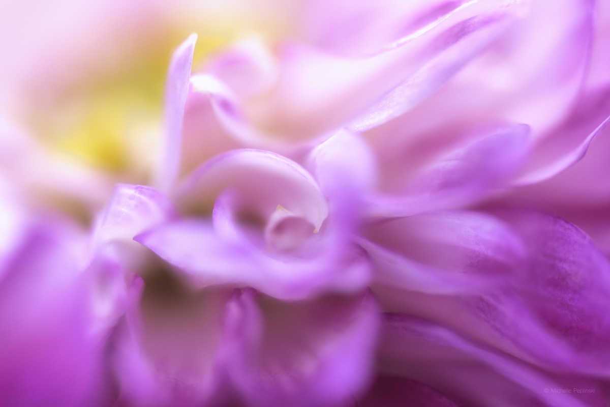 IMG_7077-FINAL-5472x3648-dalia petals soft painterly-Digital-ss.jpg