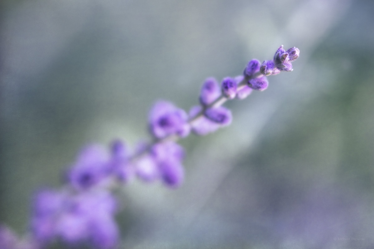 _MG_4211-Russian Sage FINAL-5184x3456-Digital-ss.jpg
