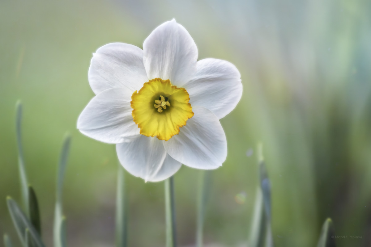 20150501-IMG_1523-FINAL-5183x3456-glowing merlin daffodil-Digital-ss.jpg