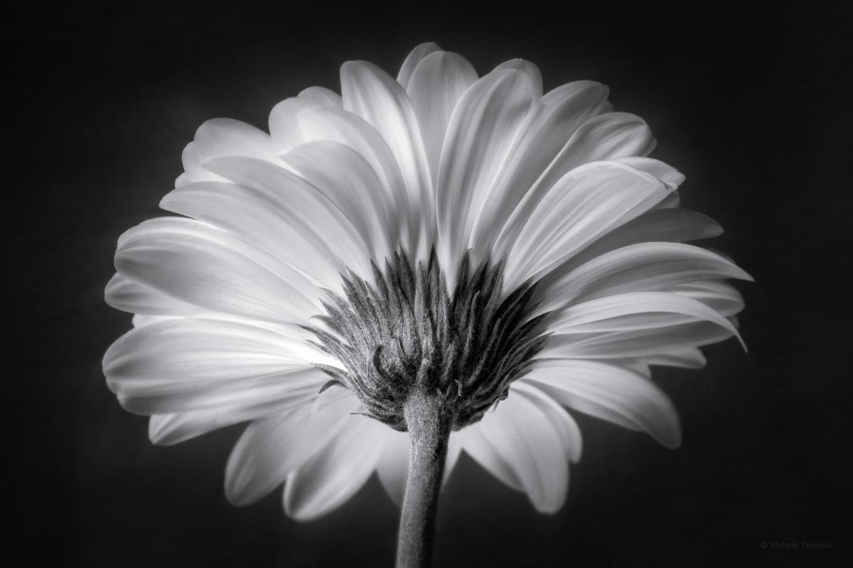 IMG_0651-BW Daisy Back -Digital-ss.jpg