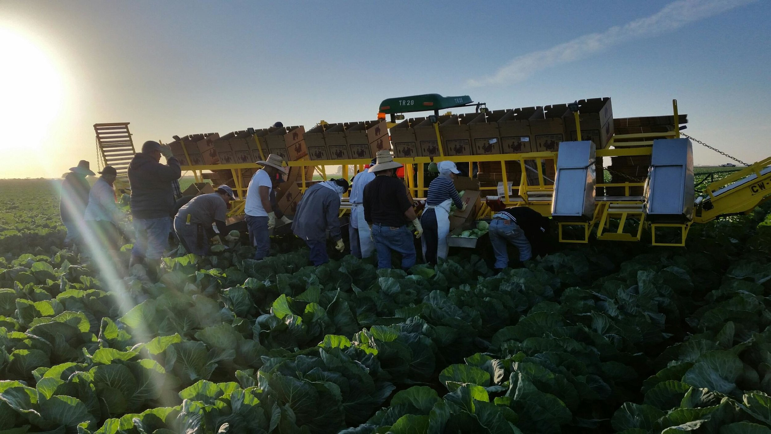 Loading cabbage bright and early