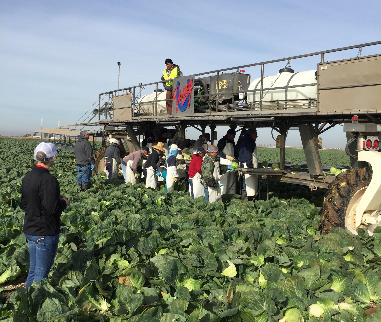 Katelyn observes a cabbage crew.