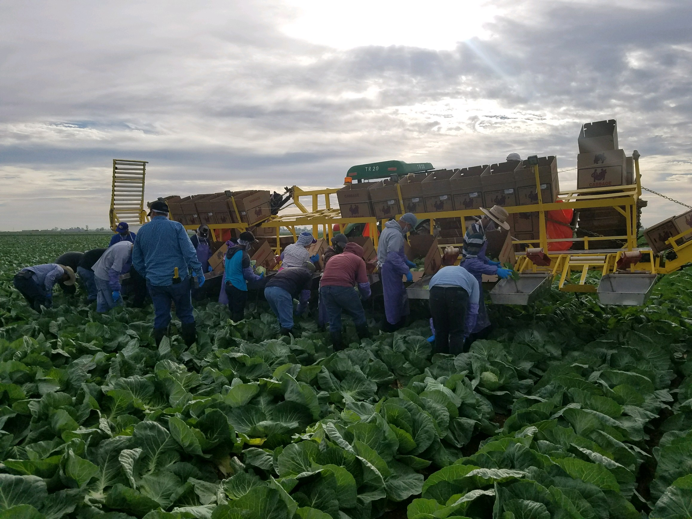 First Cabbage Harvest.jpg
