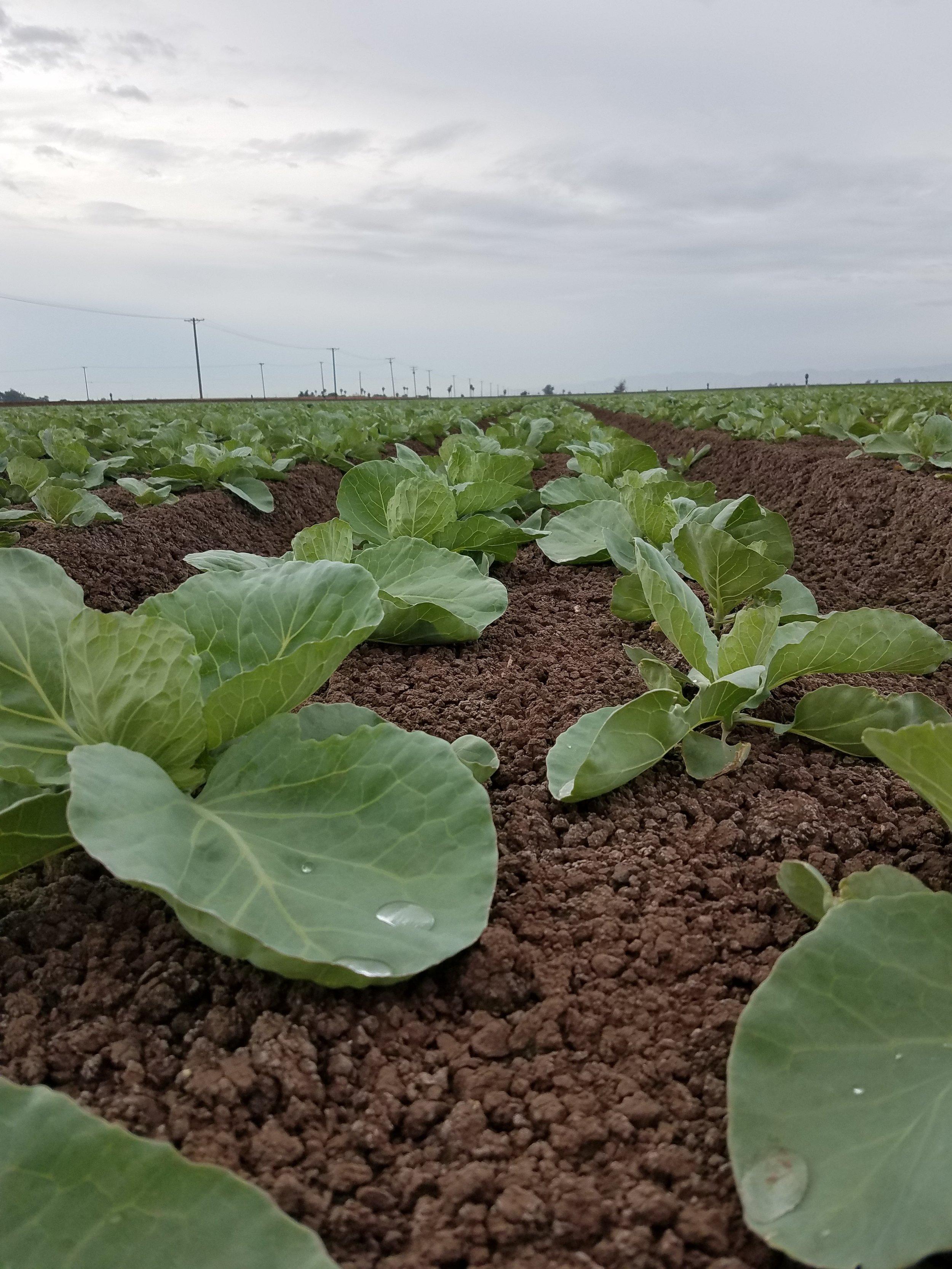 Green cabbage 2.jpg