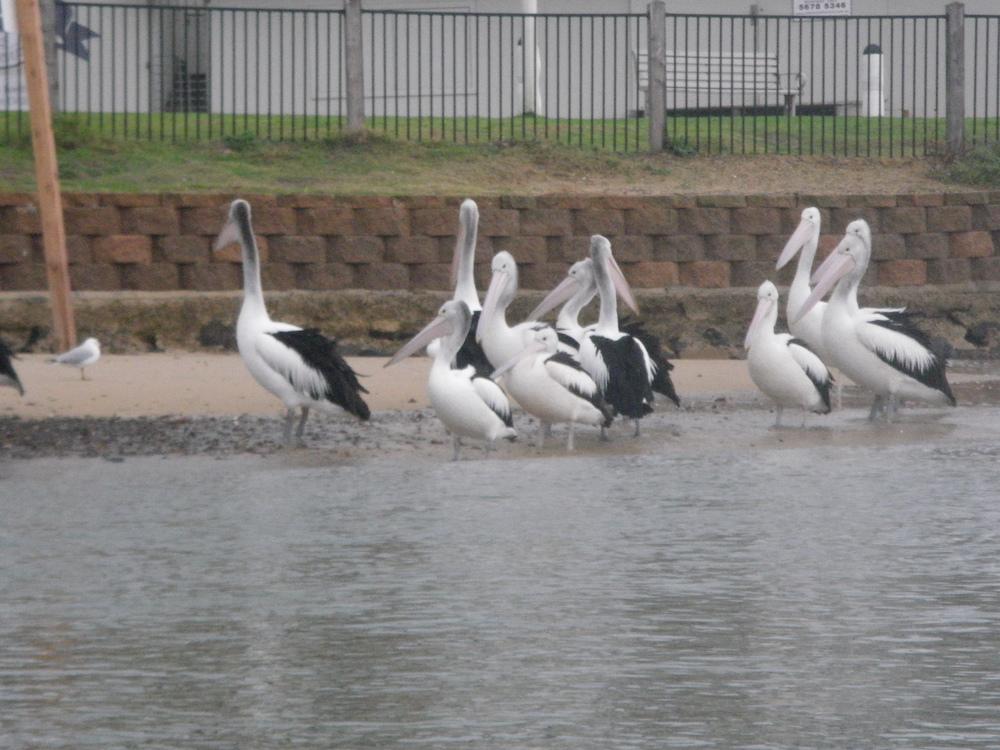 Pelicans - San Remo