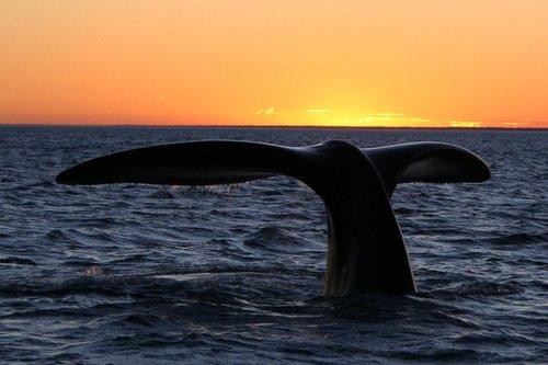 Southern right whale (Peninsula Valdes, Patagonia, Argentina), Michael Catanzari