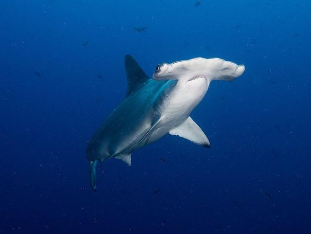 Hammerhead shark Vlad Karpinskiy @Creative Commons