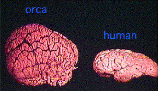 https://blog.seattlepi.com/candacewhiting/2009/07/13/orca-brains-are-large-and-complex/  Creative Commons