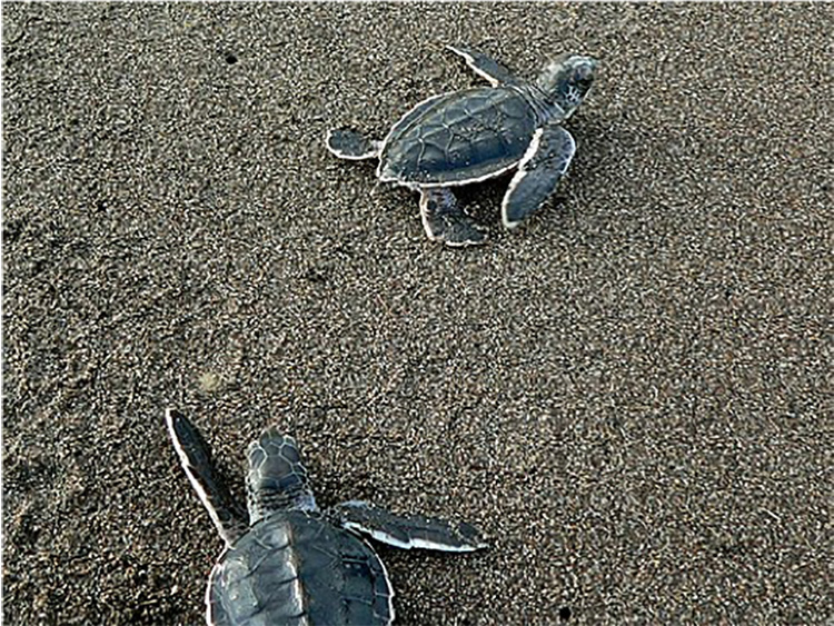 Figure 3 Green Turtle Hatchlings at Tortuguero National Park by Bernard DUPONT from FRANCE [CC BY-SA 2.0 (https://creativecommons.org/licenses/by-sa/2.0)], via Wikimedia Commons