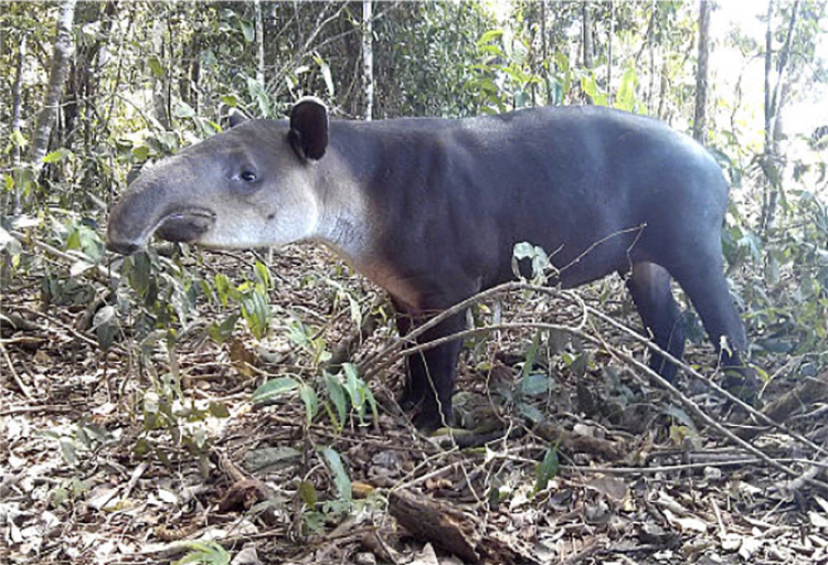 Figure 4 A Tapir in Corcovado National Park by zielwasser [CC BY-SA 3.0 (https://creativecommons.org/licenses/by-sa/3.0)], from Wikimedia Commons