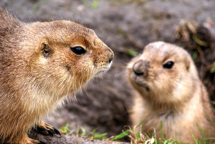 Source: Prairie Dogs pexels.com