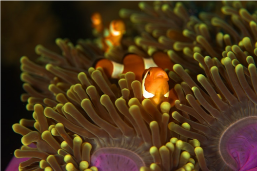 Figure 5 Clownfish in 'its' anemone, by Sebastian Pena Lambarri via Unsplash.com