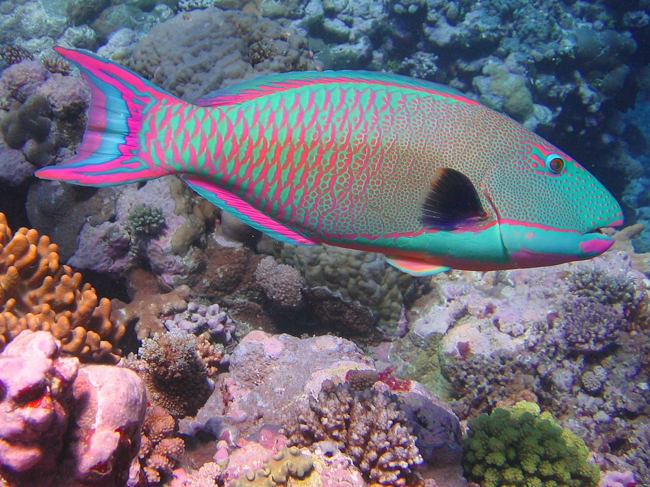 Figure 3 Bicolor Parrotfish, by Richard Ling via Wikimedia Commons