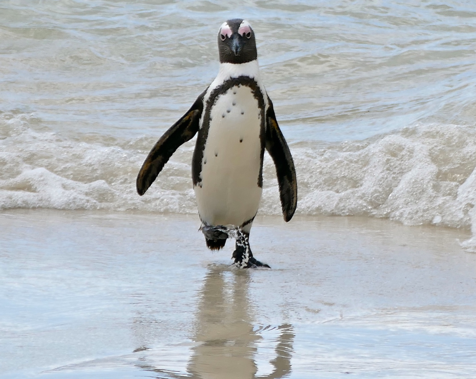 Figure 1  Endangered African Penguin  by Bernard DUPONT from FRANCE (CC BY-SA 2.0)
