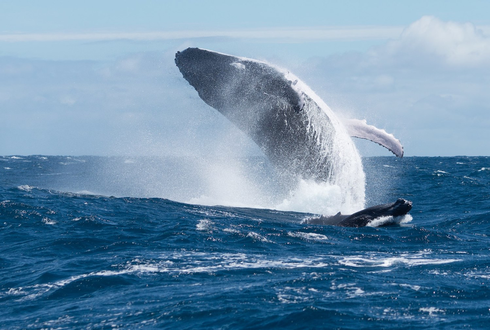 Figure 2 Humpback whale (Megaptera novaeangliae) near its whale calf, breaching off to keep away males.(Tahiti, French Polynesia) © Jérémie Silvestro / Wikimedia Commons