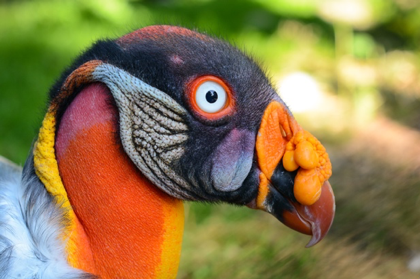 Figure 4 The King Vulture, a species native to El Salvador's forests