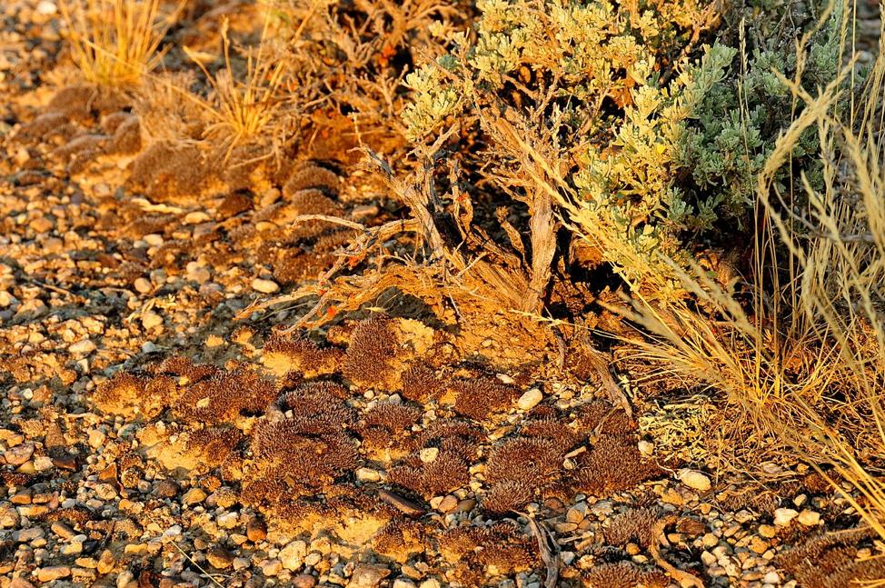 Figure 2 Soil crust at base of Wyoming big sagebrush Seedskadee. USFWS Mountain-Prairie.