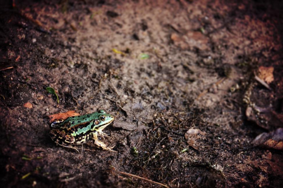 Figure 3 Green frog in the rain. Photo by Jill Heyer on Unsplash.