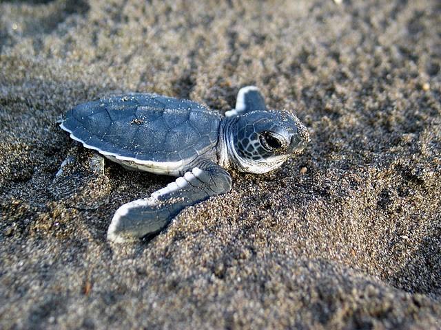 Figure 3 Baby sea turtle. Wildlifeppl at en.wikipedia