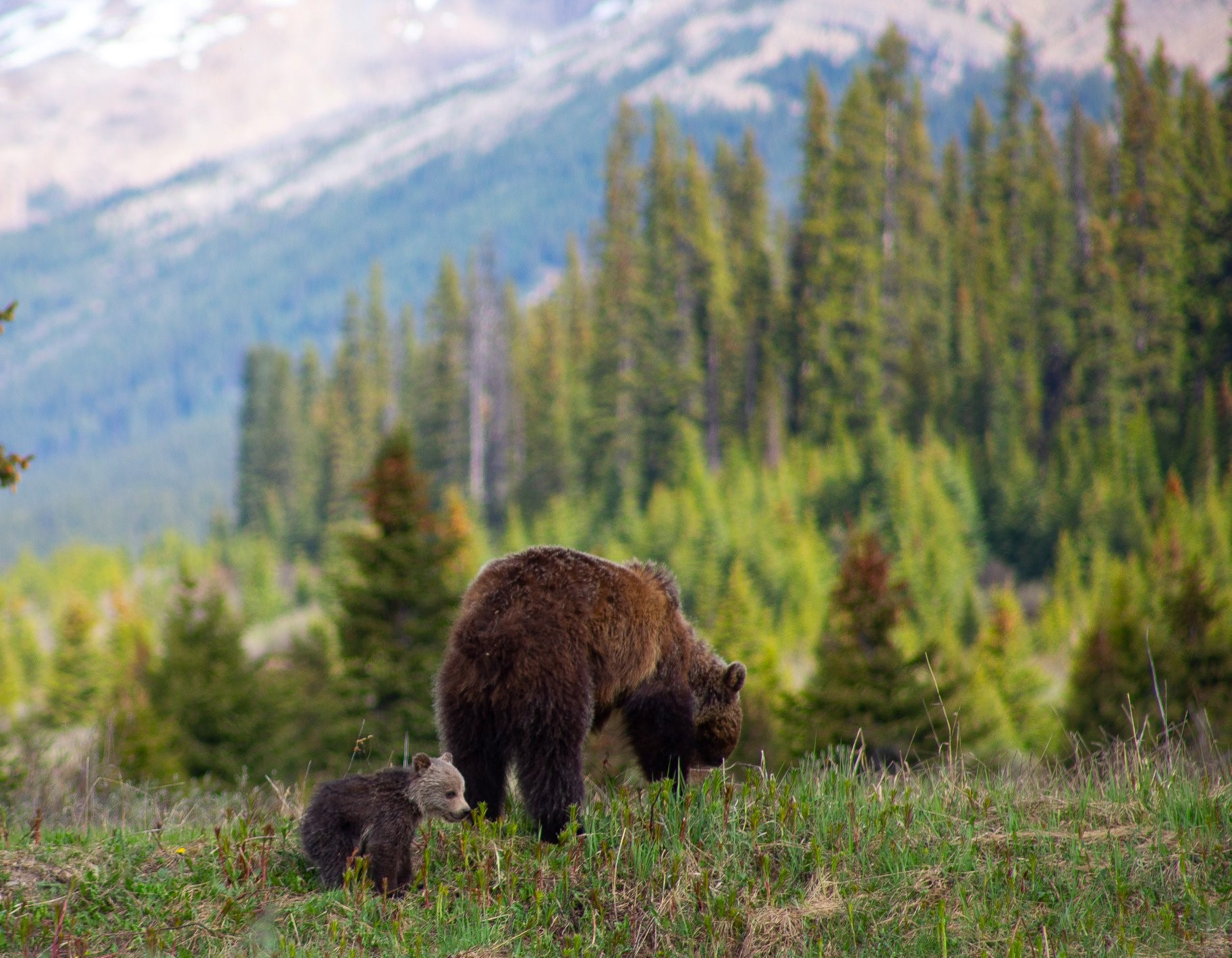 Figure 4 Mama and baby Grizzly bears in Jasper Park. Photo by Michelle Bender, used with permission of author.