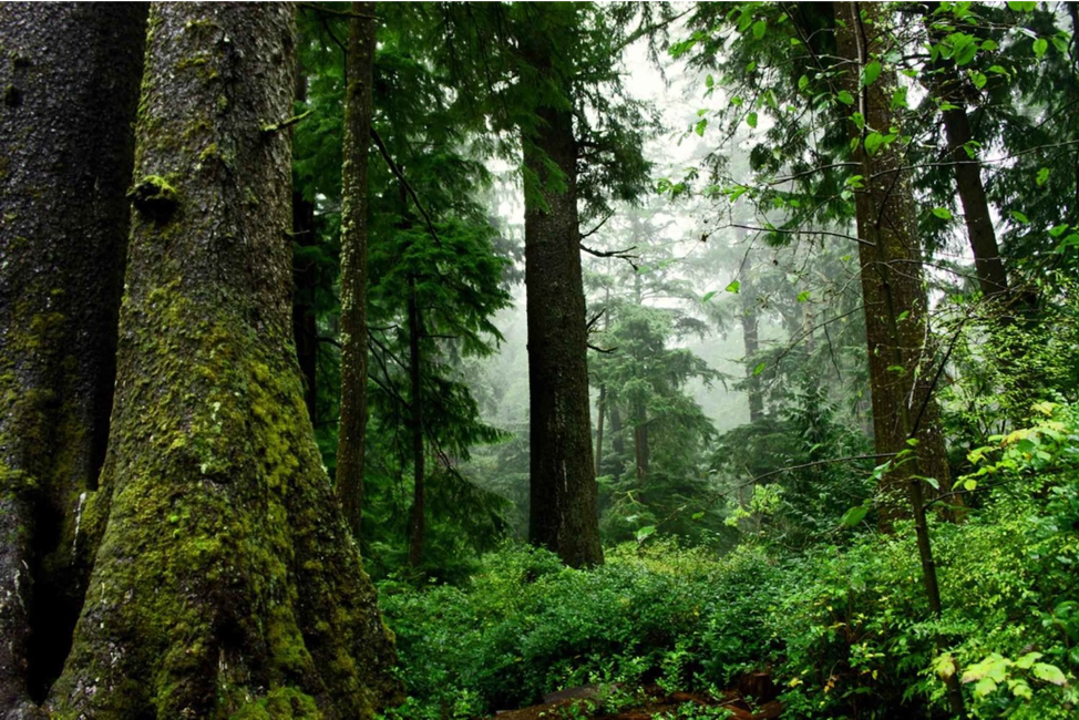 Figure 1 Old growth forest. Photo by Patte David, U.S. Fish and Wildlife Service