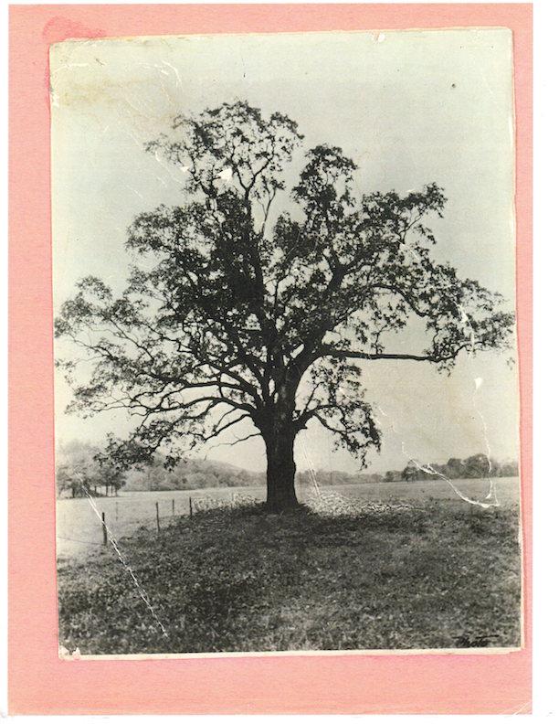 Photograph of Witenagemot Oak