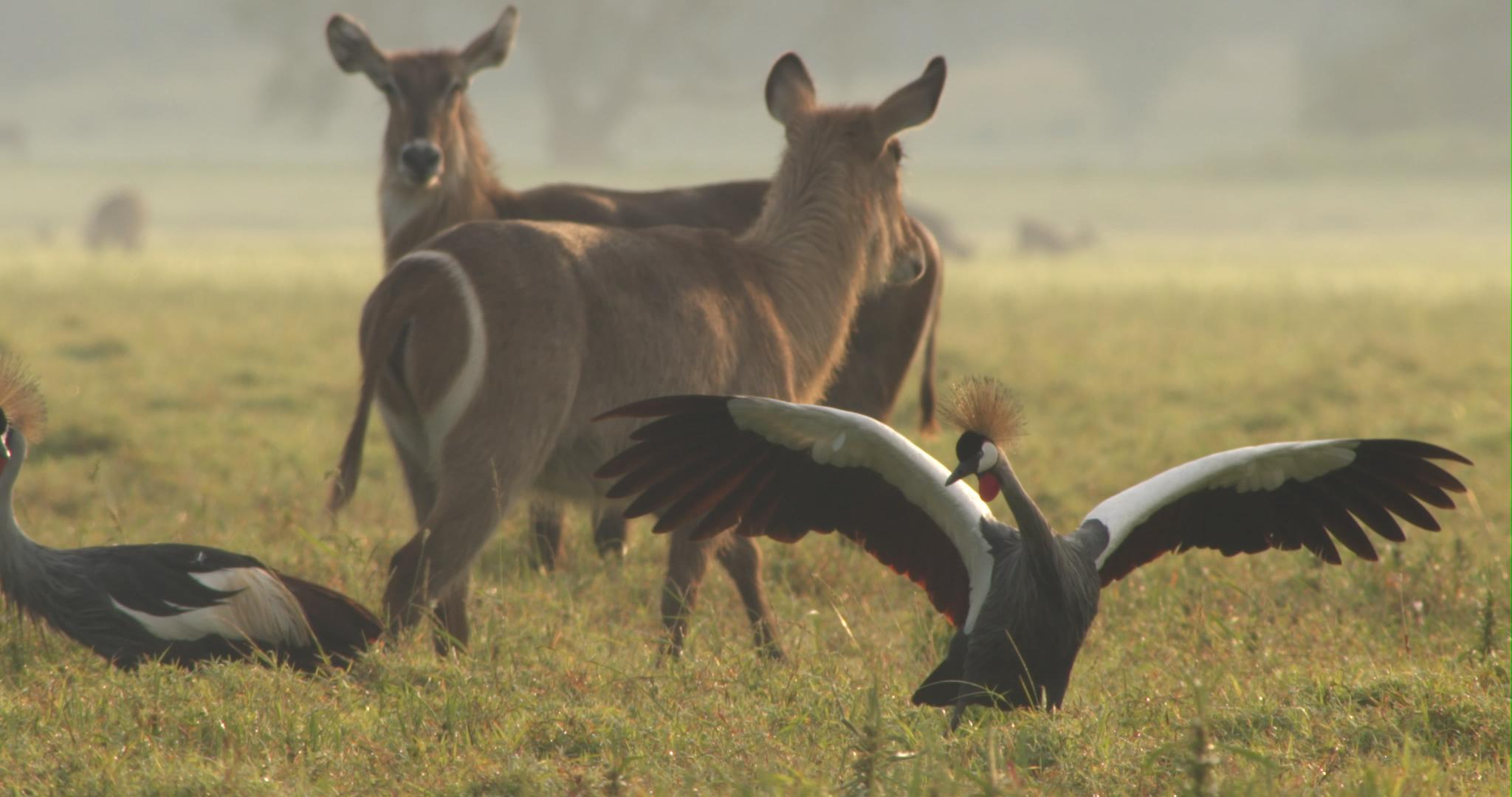 crowned cranes dance.jpg