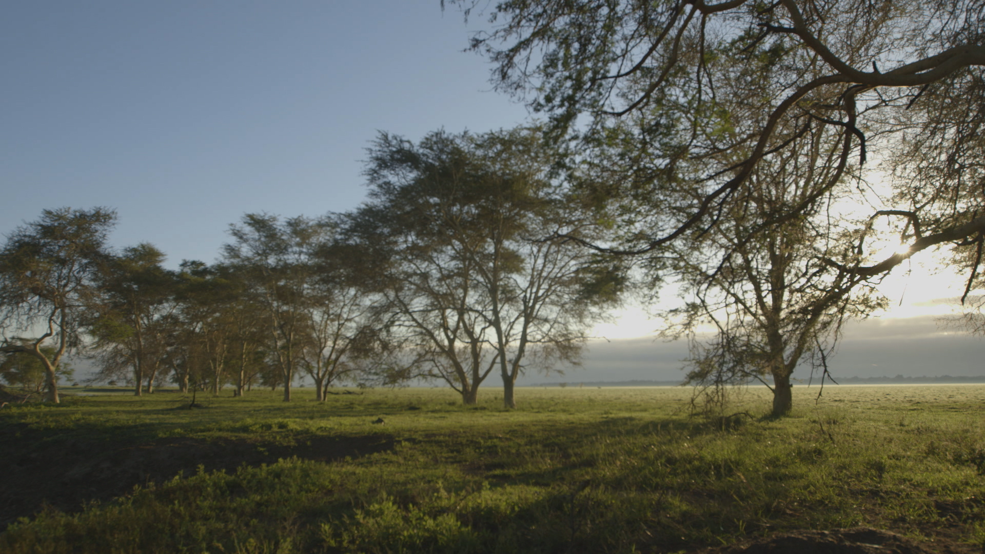 fever trees 2.jpg