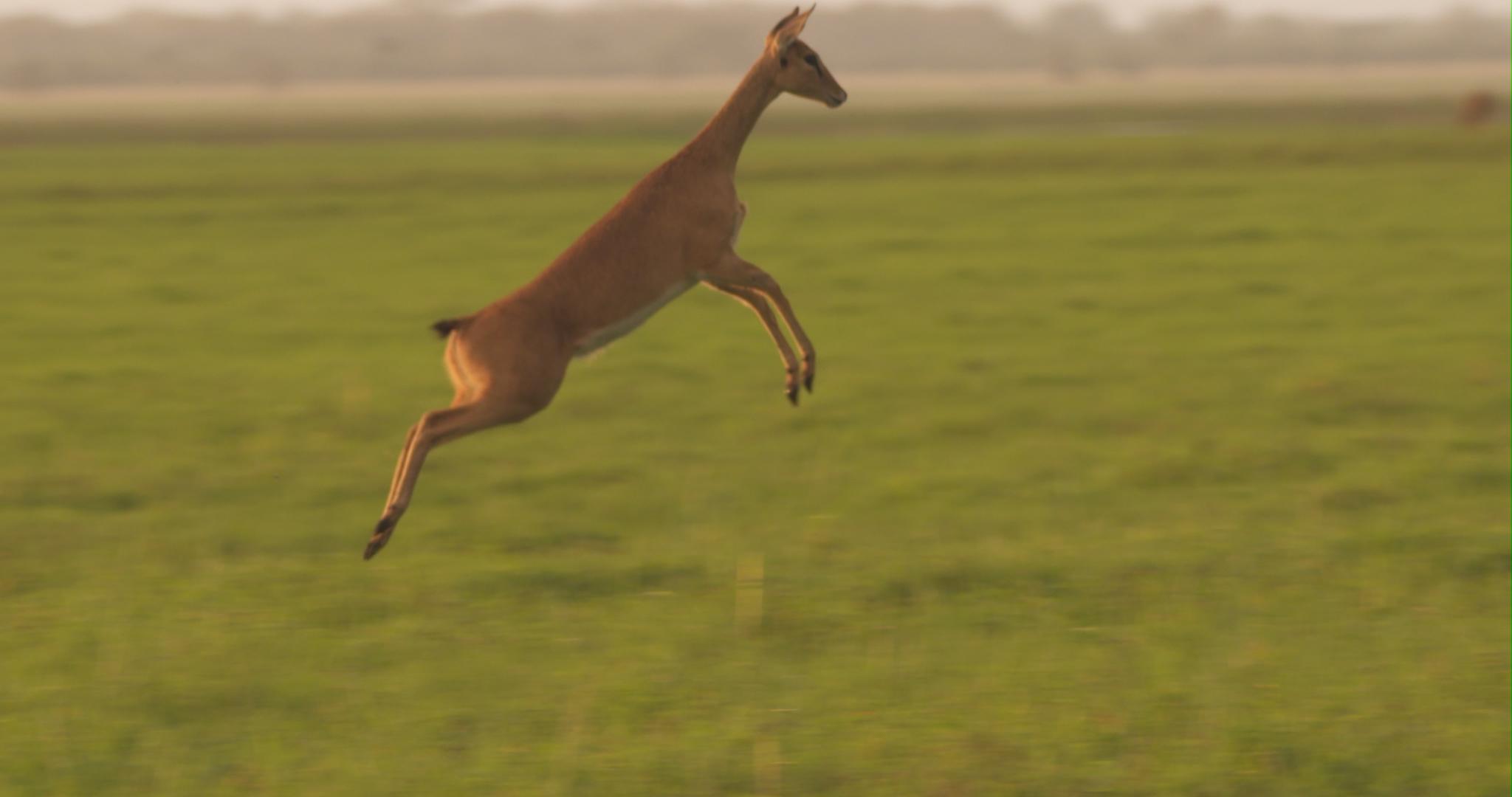 jumping orobi.jpg