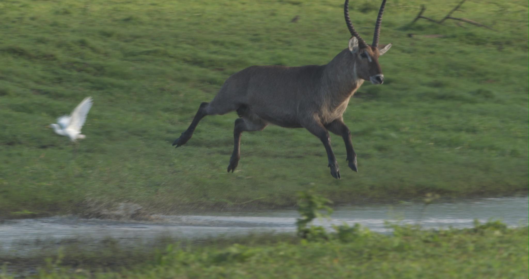 jumping waterbuck.jpg
