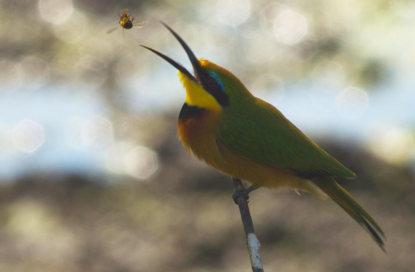 little bee-eater-FB.jpg