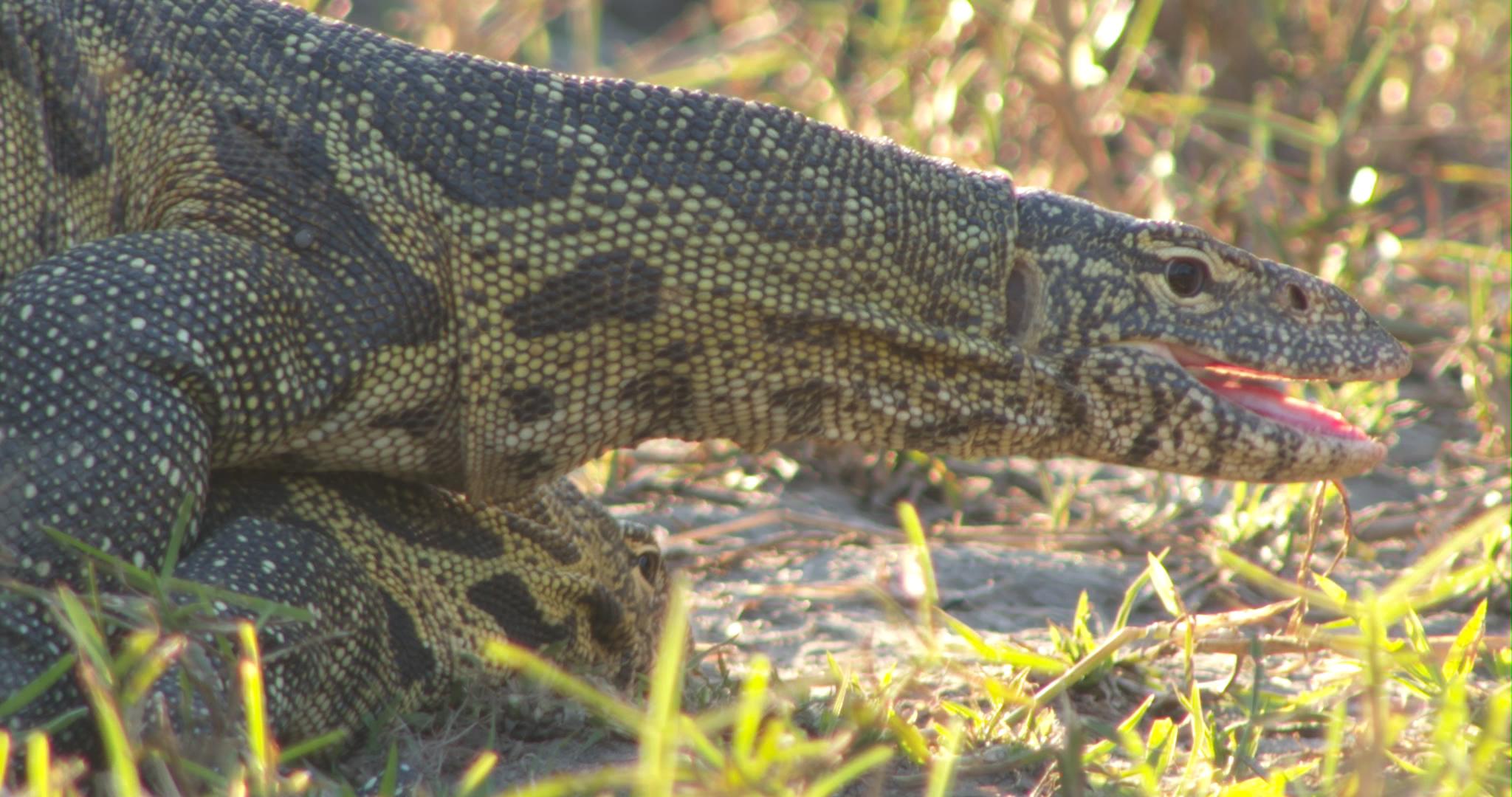 lizard lek.jpg