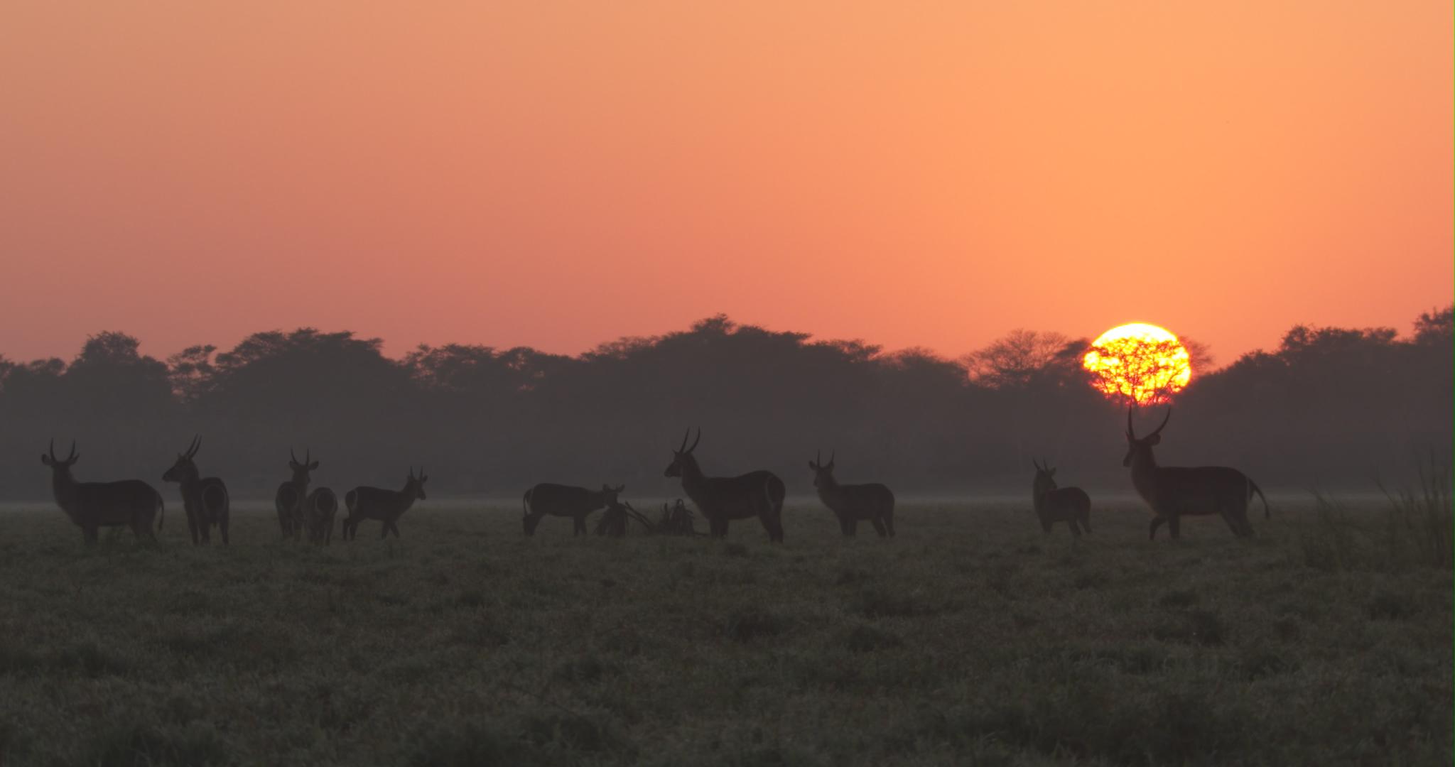 waterbuck sunrise.jpg