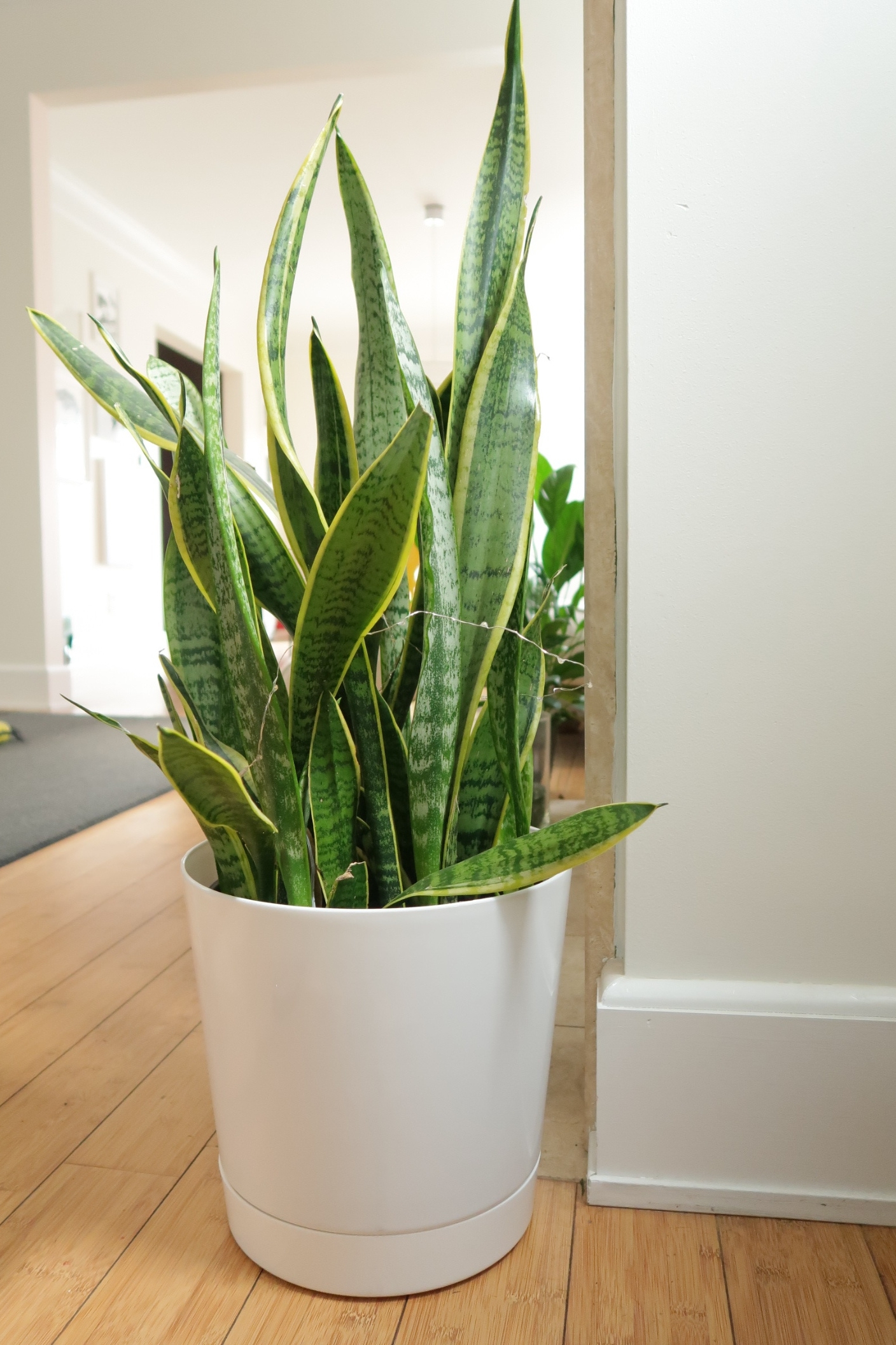 Snake plant from Lakewood Plant company, planter from  Amazon  - the planter is available in a few sizes, click on the hyperlink to see them all!