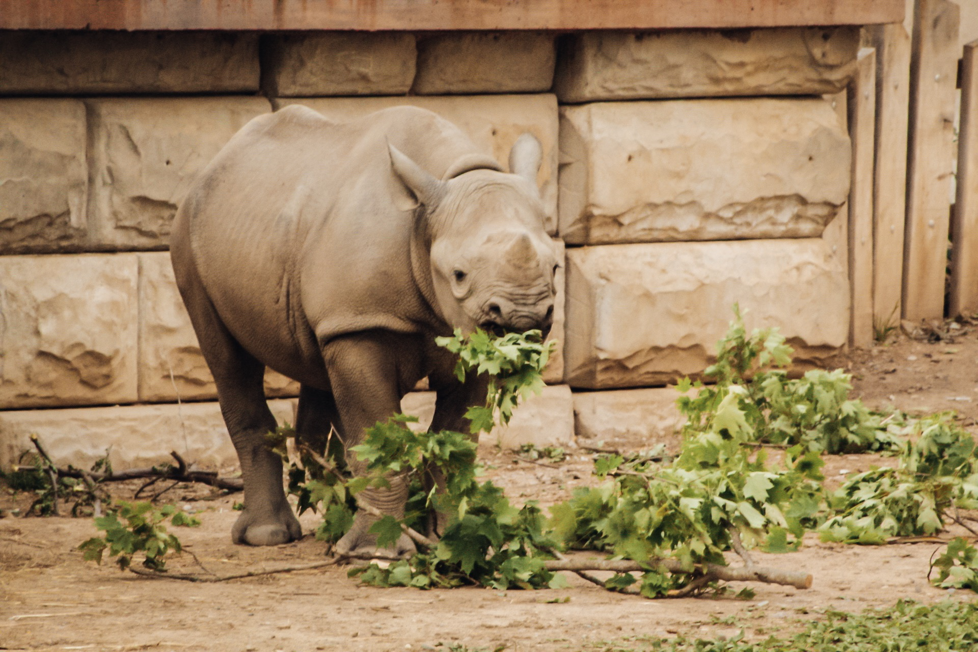 Baby rhino Nia at the Cleveland Zoo! Rhinos were the only animals we didn't  see up close on safari  - turns out that unlike lions, they really don't like humans.