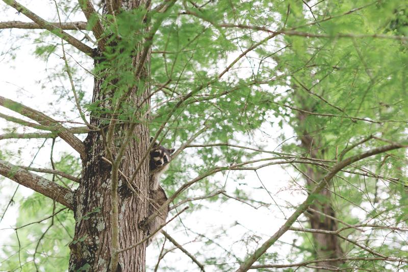 lakeland engagement photo raccoon in tree