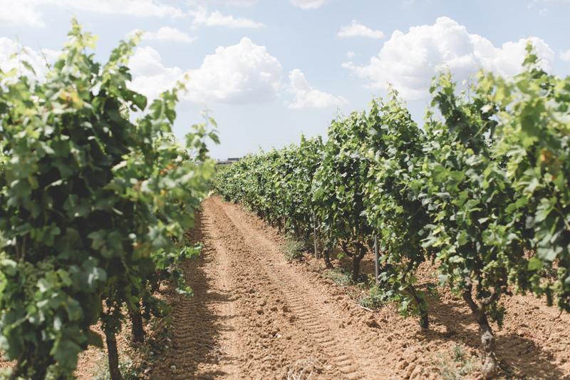 Schiena Vini Vinyard Italy Tour - Grapevines