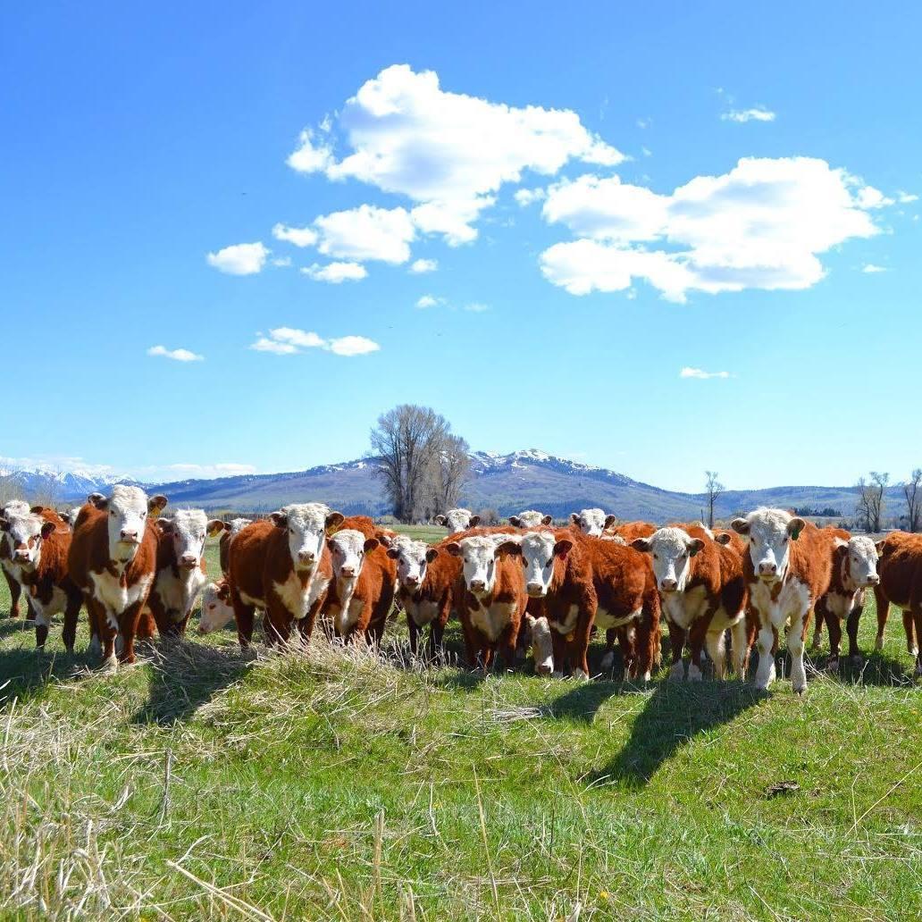 cows looking.jpg